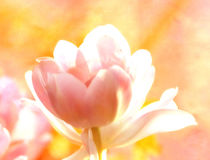 Tulip by Nigel  Bangert