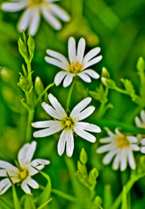 Wild Flowers – Stitchwort by tkphotography