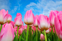 Pink Tulips under blue sky by Jens Uhlenbusch