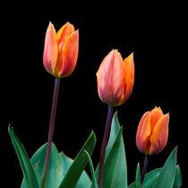 Three Tulips von John Biggadike