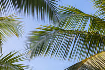 1160-clear-sky-through-palm-fronds