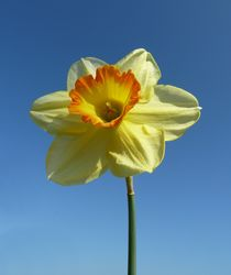 Yellow and Orange Narcissus by John McCoubrey