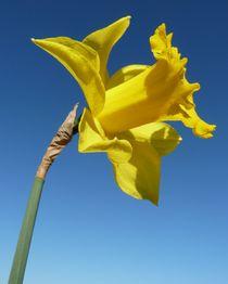 Trumpet Daffodil by John McCoubrey