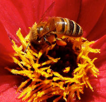 Australian Bee Enjoying Dahlia Pollen von Margaret Saheed