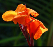 Canna In Sunlight von Margaret Saheed