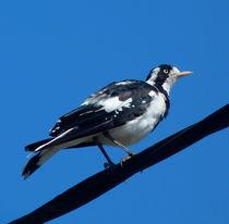 Australian Magpie-Lark by Margaret Saheed
