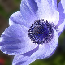 Blue Anenome by Colin Metcalf