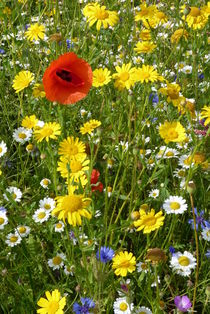 Wild Flower Meadow by Colin Metcalf