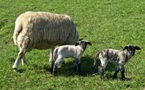 Twin Lambs von John McCoubrey