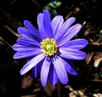 Purple Wood Anemone von John McCoubrey