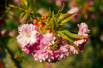 Sakura by József Lörincz