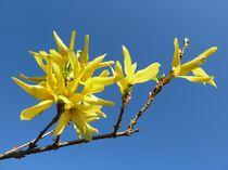 Forsythia Blossom by John McCoubrey