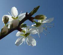 White Spring Blossom von John McCoubrey