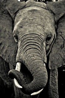 Close Encounters: Elephant von Dennis Lemmers
