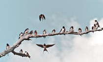 Swallows von Dennis Lemmers
