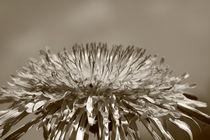 Pusteblume - Dandelion by ropo13