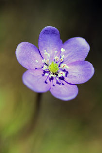 Anemone hepatica by Jens Berger
