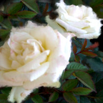 White rose. von Bernd Vagt