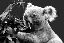 Koala eating eucalyptus leaves by Linda More