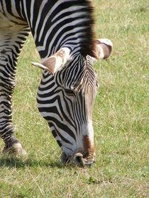 Zebra von mark-philpott