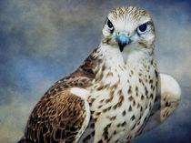 A Saker Falcon by Amanda Finan