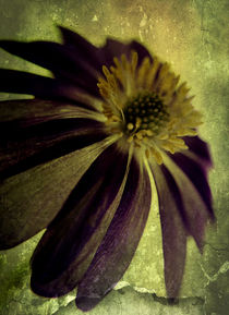 Textured Anemone. by rosanna zavanaiu