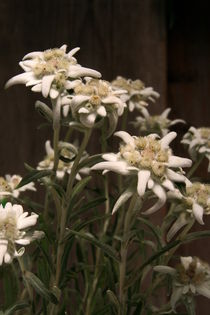 Edelweiss by pichris