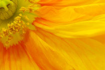 Orange Poppy II von AD DESIGN Photo + PhotoArt