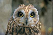Whooo's Looking? Short-eared Owl by JET Adamson