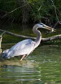 'A Blue Heron Catches Lunch' by Glen Fortner