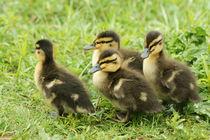 Ducklings Waddling By (Mallard) von JET Adamson