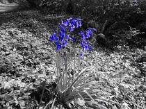Bluebells by a Path by John McCoubrey
