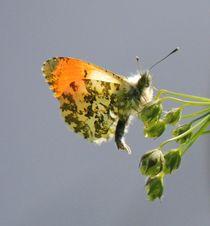 Orange-Tip Butterfly by John McCoubrey