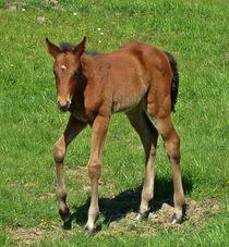Baby foal by John McCoubrey