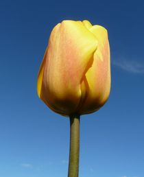 Yellow Tulip by John McCoubrey