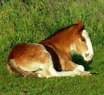 Shire Horse Foal von John McCoubrey