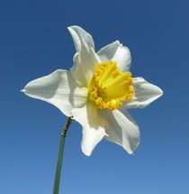 White and Yellow Narcissus by John McCoubrey
