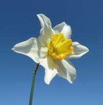 White and Yellow Narcissus von John McCoubrey