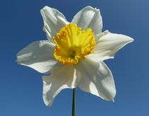 White Narcissus Daffodil by John McCoubrey