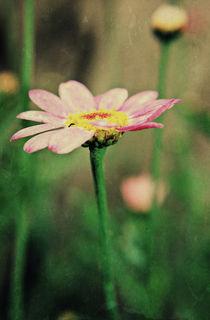 Daisy-pink-jpg