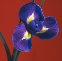 Iris-reticulata-schwertlilie-s1-1