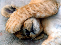 The Lion Sleeps by serenityphotography