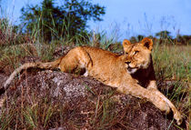 Lion Resting on Rock by serenityphotography