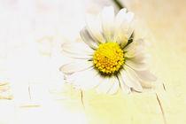 Gänseblümchen von Jana Behr