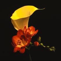 gelbe bluete der zantedeschia elliottiana und freesia von helmut krauß