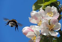 Apple Blossom and a Bee by John McCoubrey