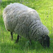 Schaf-pulloverauf4beinen
