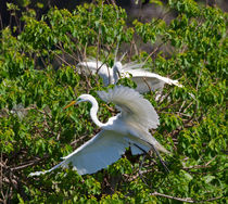 Great-egrets0049