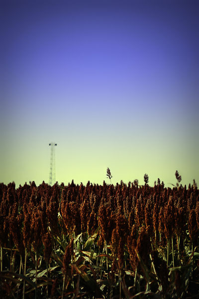Sorghum-fields-forever-8-x-12-dot-1