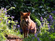 Wild Red Fox  by John McCoubrey